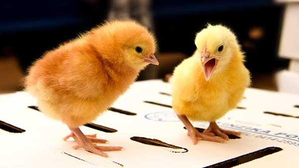 Руководство: как выводить цыплят с наседкой и инкубатором для яиц?