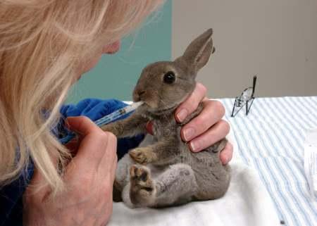 Почему чихают кролики и что делать