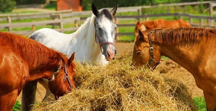 Что едят лошади: рацион диких и домашней коней