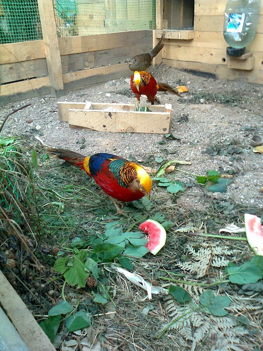 Разведение фазанов: подробно об особенностях содержания охотничьих или серебристых птиц в домашних условиях и выгодно ли это, как бизнес