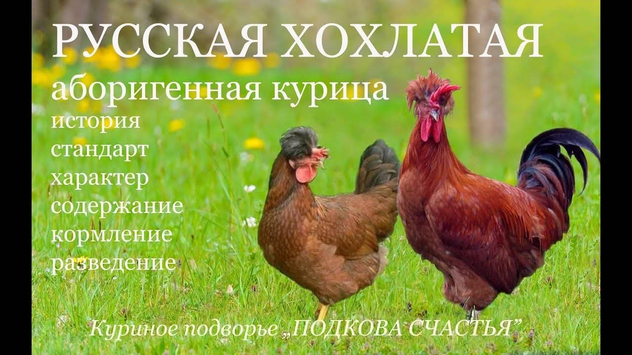 Русские хохлатые куры - описание породы с фото и видео | россельхоз.рф