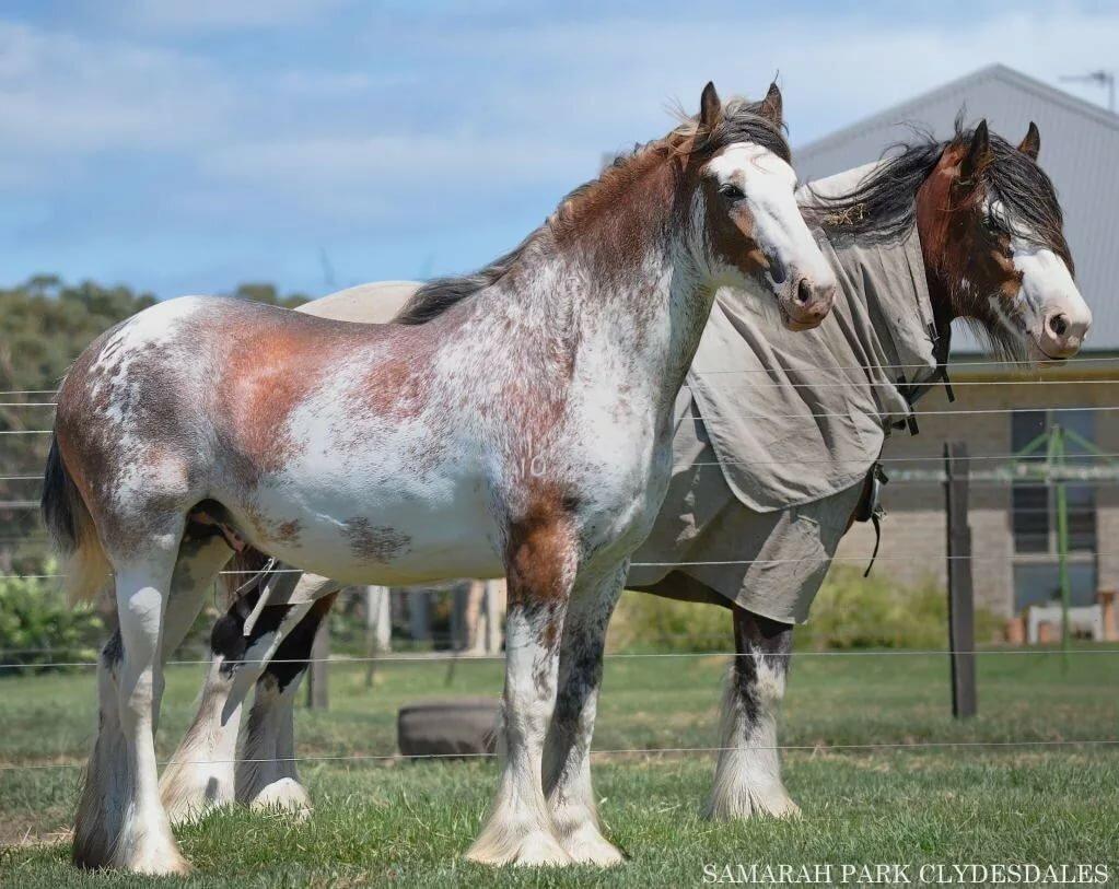 Породы лошадей тяжеловозов, тягловые кони, мясные тяжеловесы