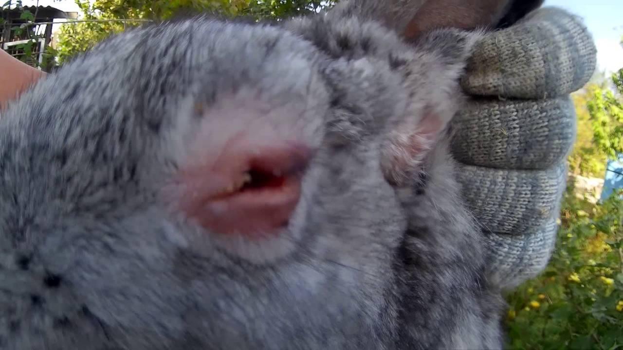 Мокрец у кроликов: инфекционный, бактериальный, травматический