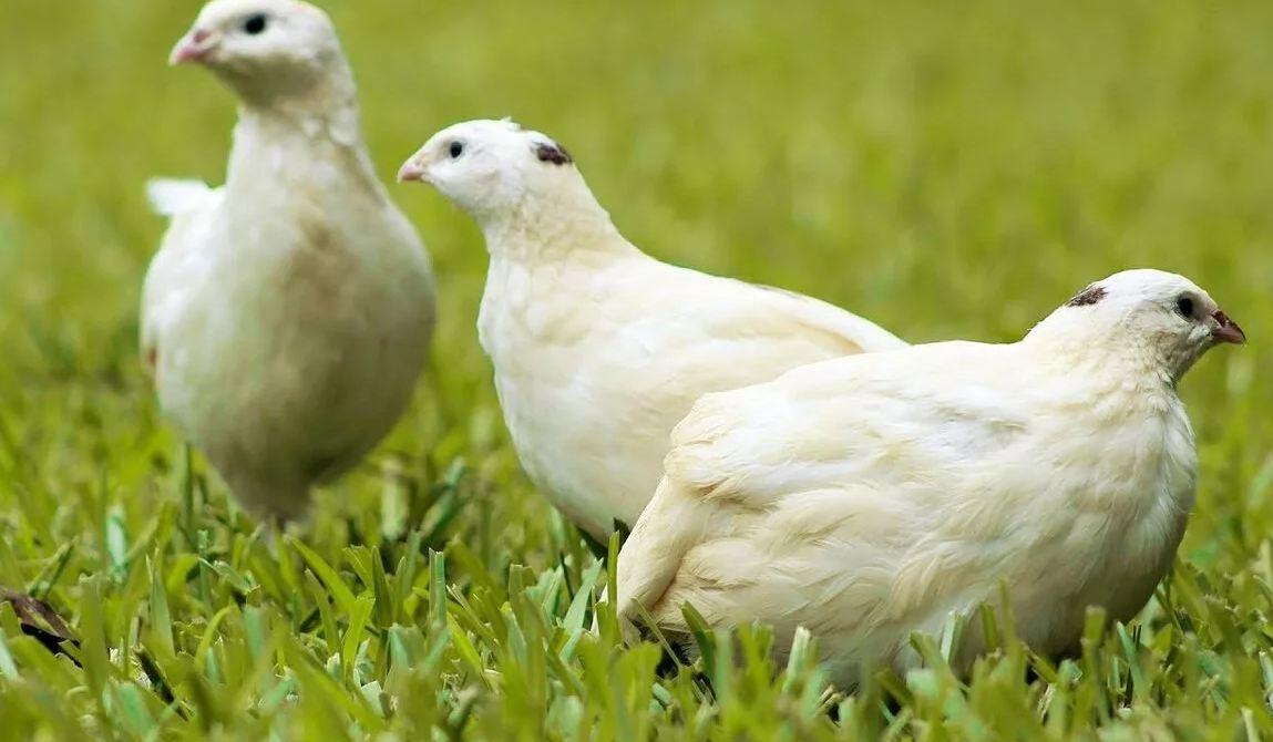 Техасский перепел: характеристика и описание породы белых бройлерных техасцев