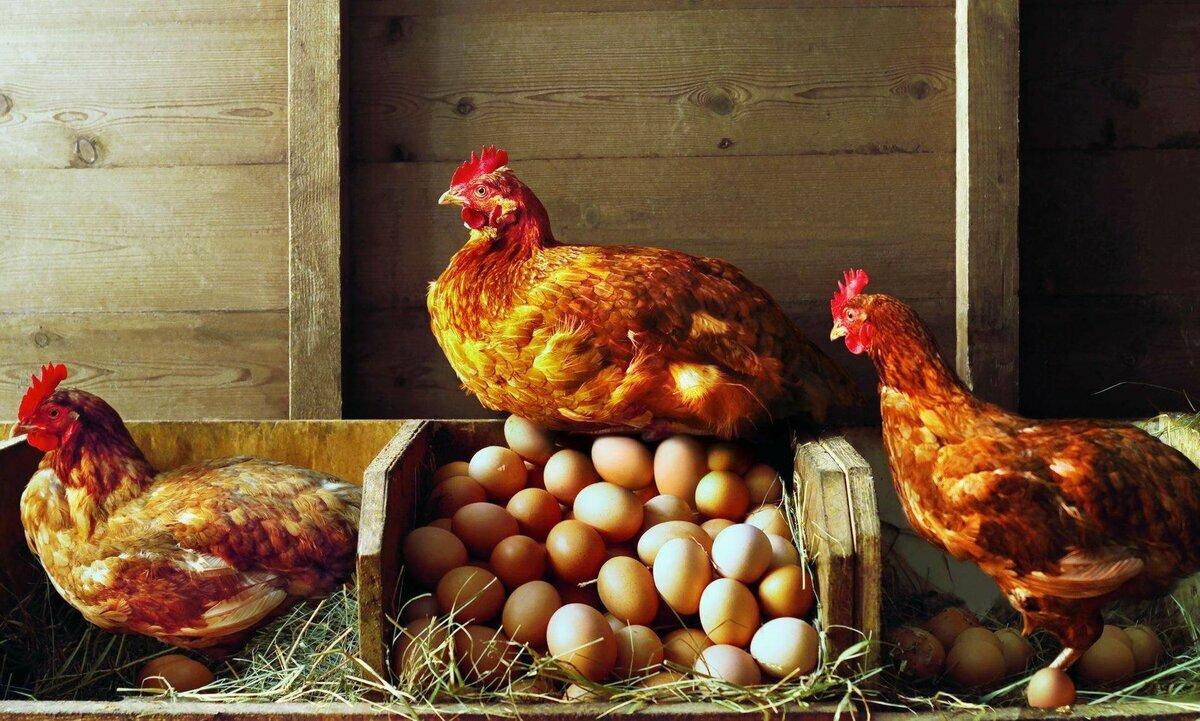 ✅ когда, с какого возраста, куры молодки (несушки) начинают нести яйца - tehnomir32.ru