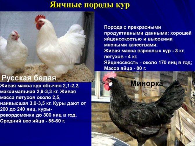 Андалузская голубая порода кур — разведение, продуктивность и обзор породы