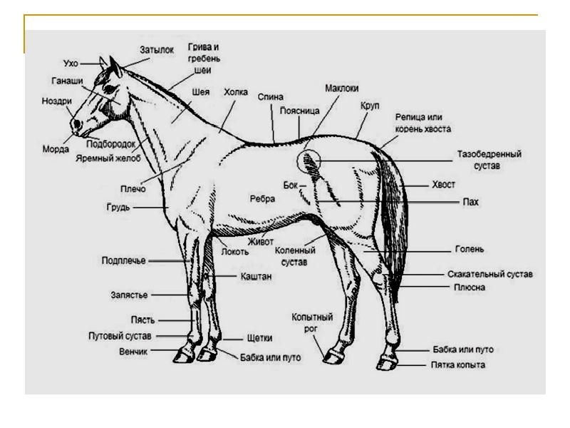 Словарь лошадиные термины, коней, конного спорта