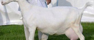 ✅ о лучших породах молочных коз: дойные, без запаха, молочного направления - tehnomir32.ru