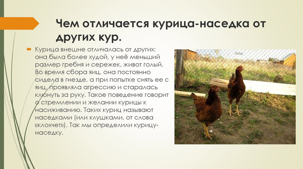 Как определить возраст курицы — народные способы и опытные методы