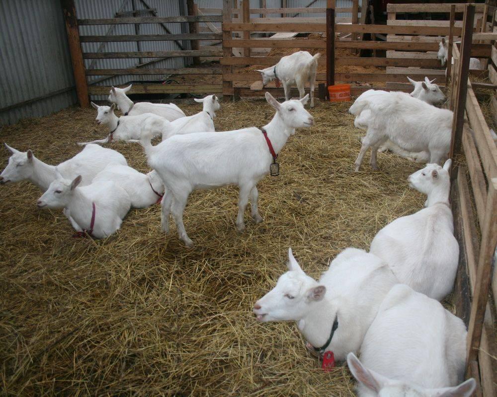 Нубийская порода коз – важные особенности ухода и содержания 2020