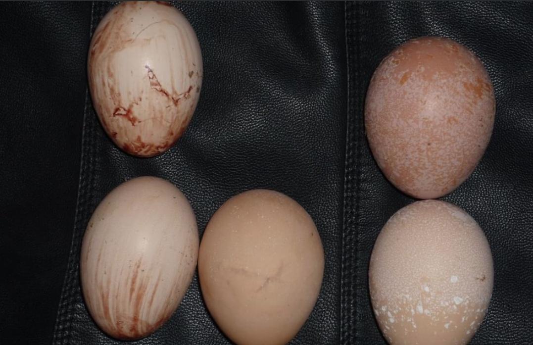 Что делать, если у курицы выпал яйцевод, причины и лечение