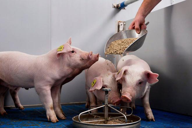 Чем и как кормить свиней? корм и витамины для быстрого роста. чем питаются поросята в домашних условиях? нормы правильного кормления и эффективный откорм