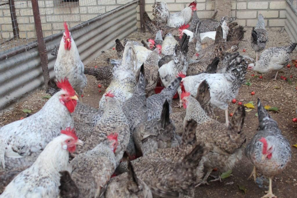 Ливенская курица. ливенская ситцевая порода кур — характеристика и описание. видео — выставка кур в ливнах: ливенская порода кур