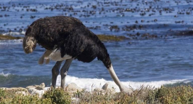 Почему страус прячет голову в песок? так ли это на самом деле?