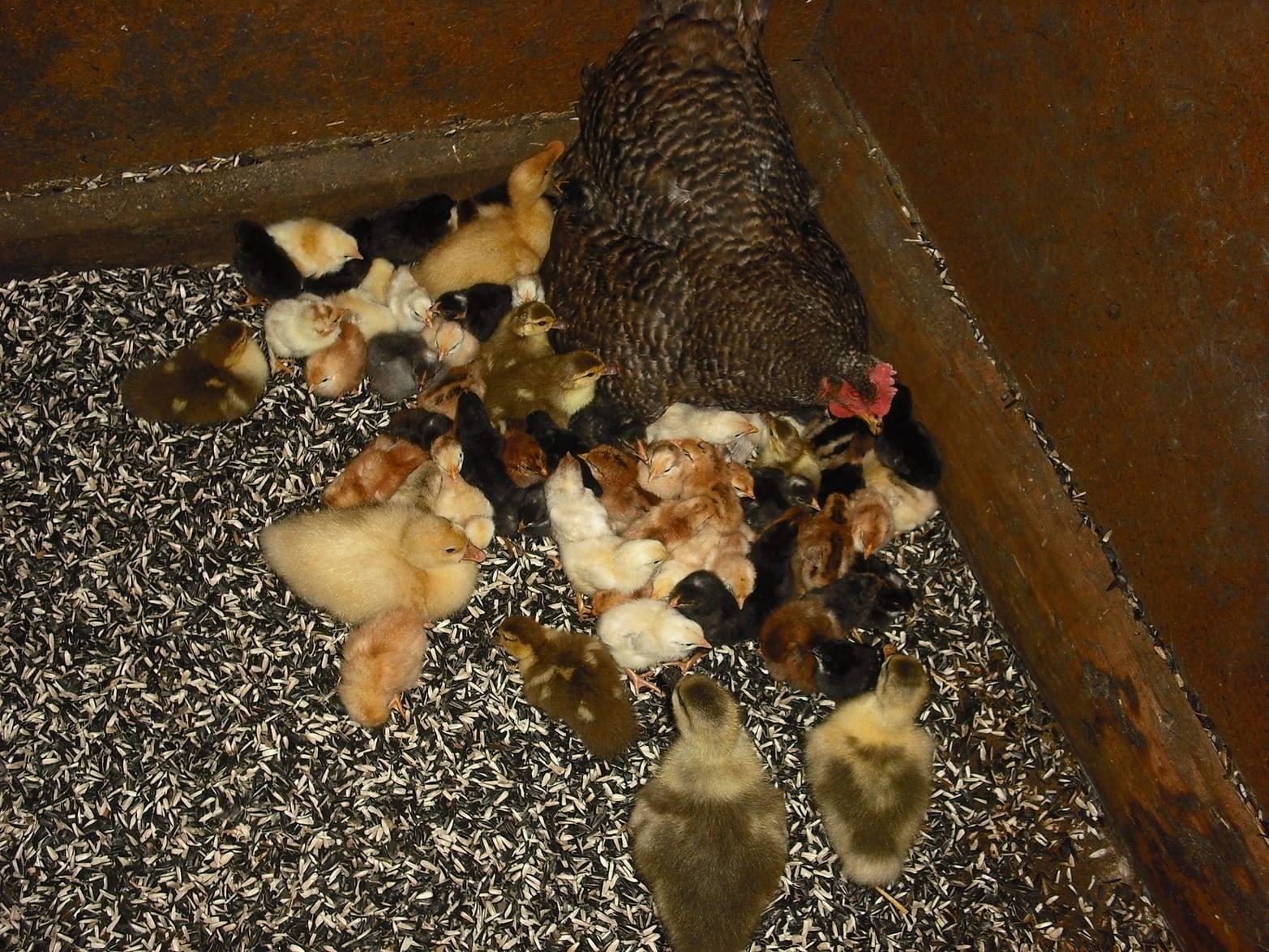 Вывод цыплят под наседкой — как это происходит?