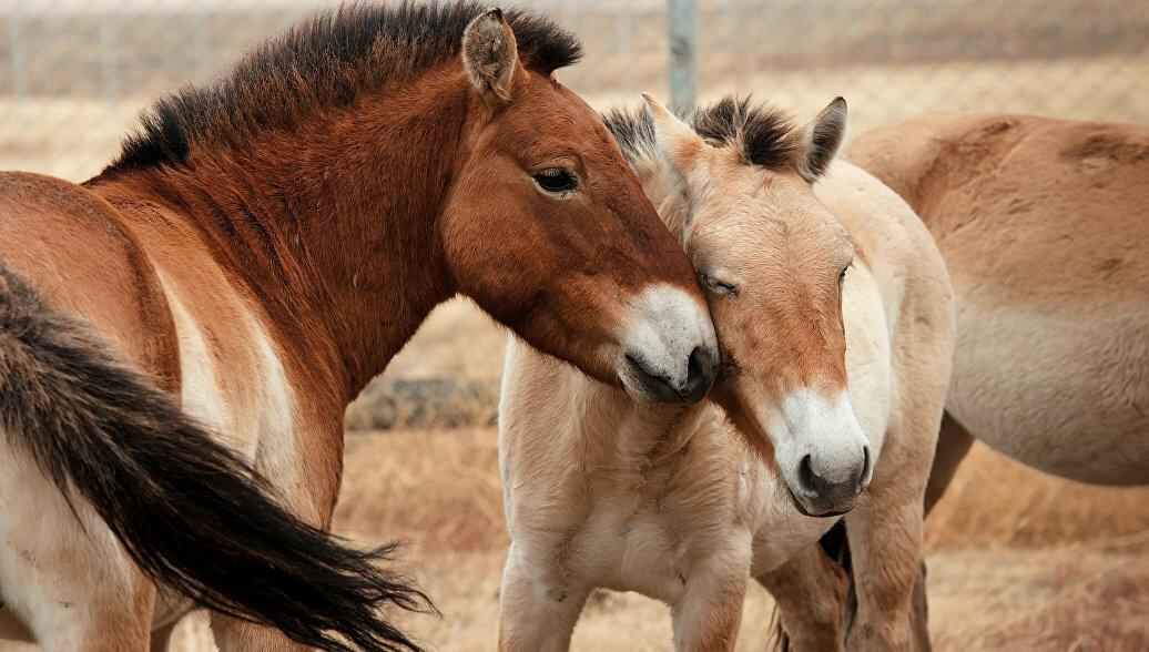 ✅ все о лошади пржевальского: почему так называется конь, интересные факты, описание - tehnomir32.ru