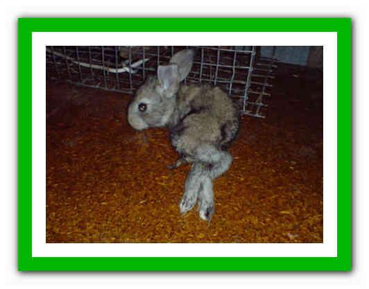 Понос у кроликов: причины, лечение и профилактика в домашних условиях