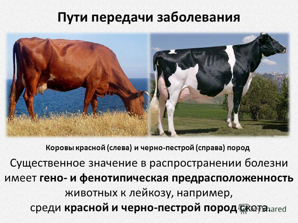 Лейкоз у коров: инструкция по профилактике и борьбе с болезнью