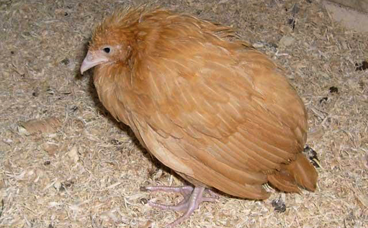 Симптомы пастереллёза у кур, диагностика этого заболевания и его лечение
