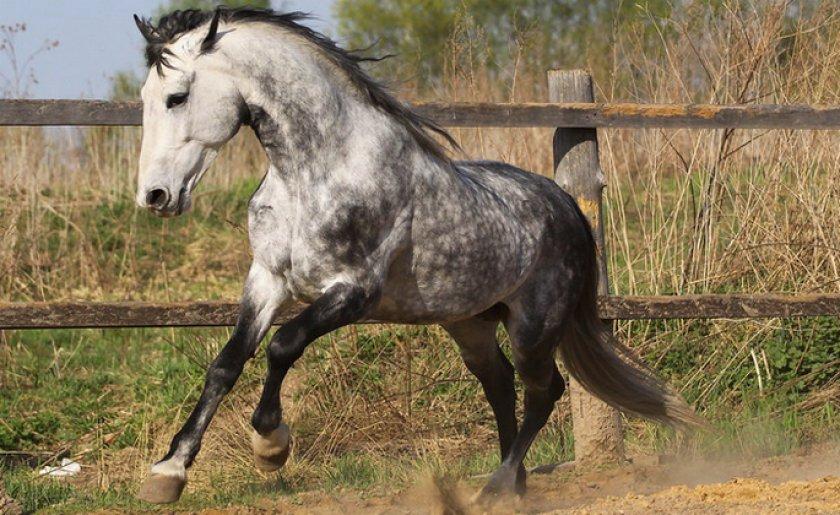 Орловская порода лошадей: история, характеристика и описание с фотографиями рысака