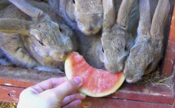 Можно ли кормить кроликов арбузными корками - выращивание из семян!