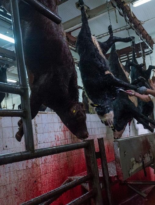 Фермеру на заметку как резать быка: правила забоя!