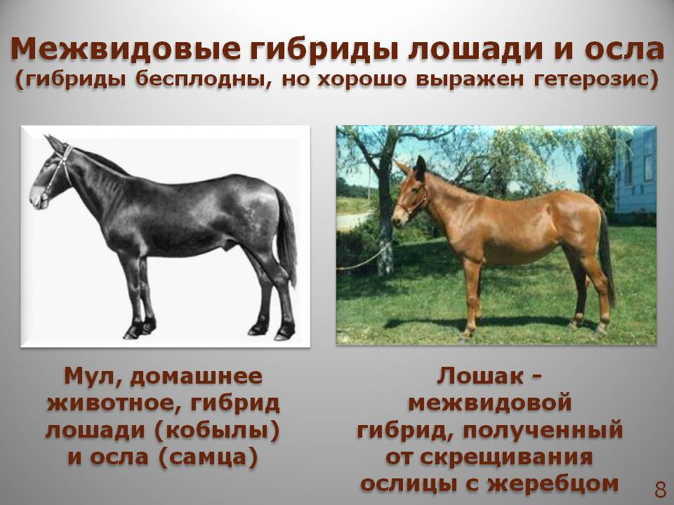 Смесь осла и лошади как называется