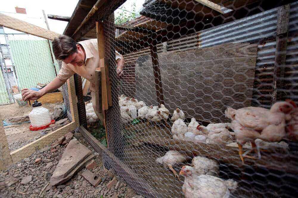 Содержание кур: построение и обустройство курятника