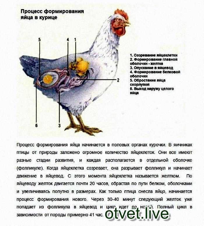 Сколько яиц несет курица несушка в месяц, в день и в год в домашних условиях и как увеличить яйценоскость кур