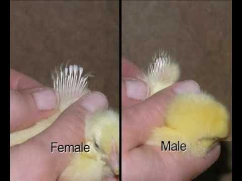 Как внешне определить пол цыплят в разном возрасте