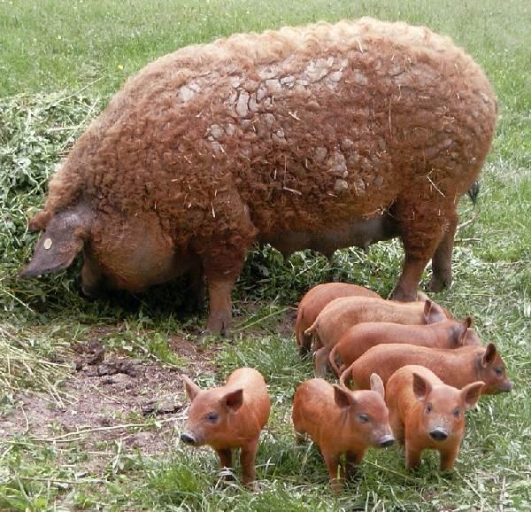 Порода свиней пьетрен: характеристика, содержание, отзывы
