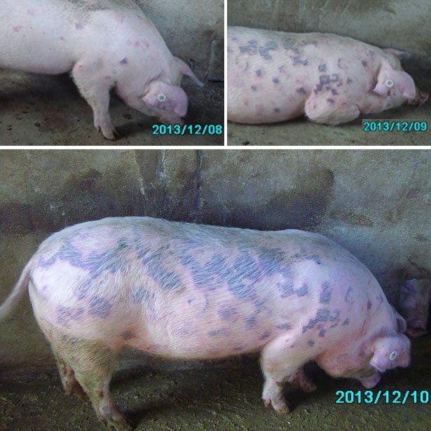 Рожа у свиней: симптомы и лечение в домашних условиях, вакцины