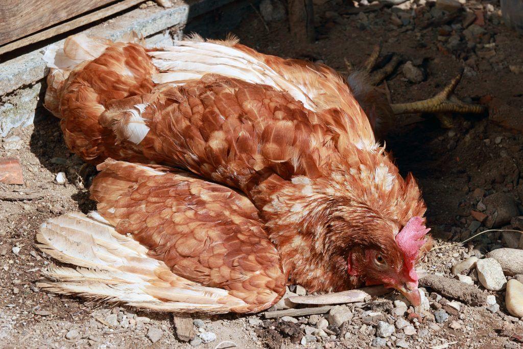 Почему цыплята опускают крылья и дохнут: как и чем лечить? причины, симптомы, препараты, профилактика