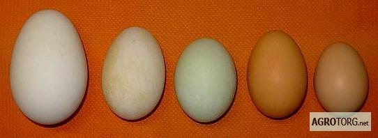 ✅ о яйцах цесарок: как они выглядят и чем отличаются от куриных - сравнение - tehnomir32.ru