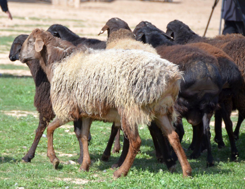 Описание и разведение курдючных баранов: польза и особенности, содержание и кормление, разведение пород