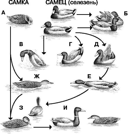 Как отличить самца от самки утки: разбираем все известные методы