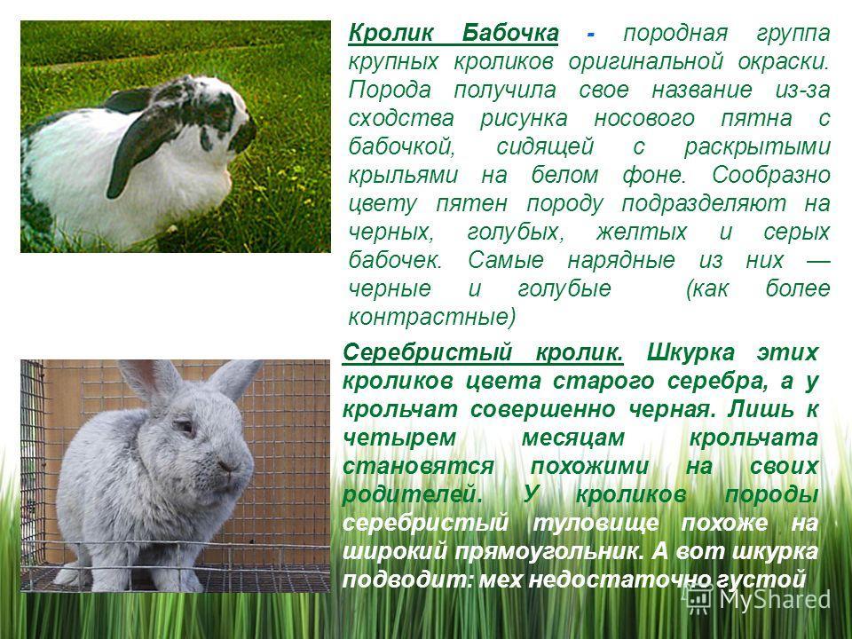 Кролик бабочка: описание породы, разведение