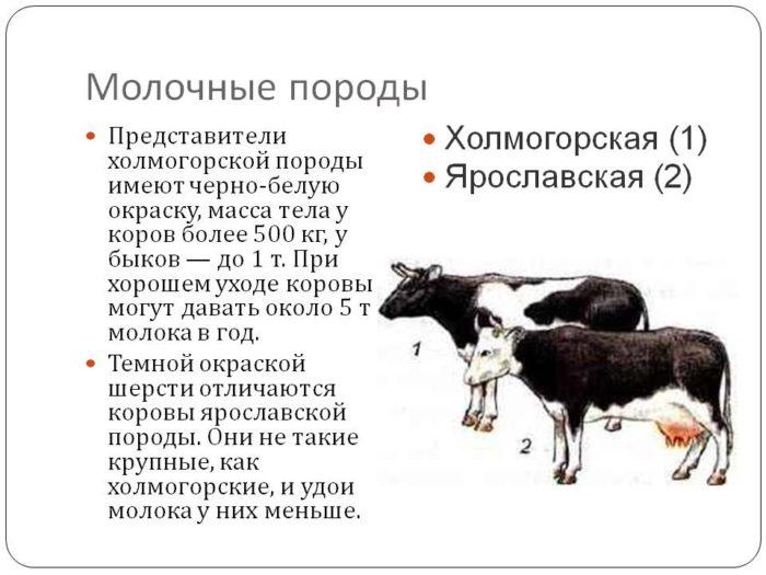 Айрширская порода коров - описание, характеристики, отзывы
