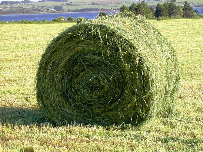 Особенности коров герефордской породы: описание содержания, продуктивности и недостатков