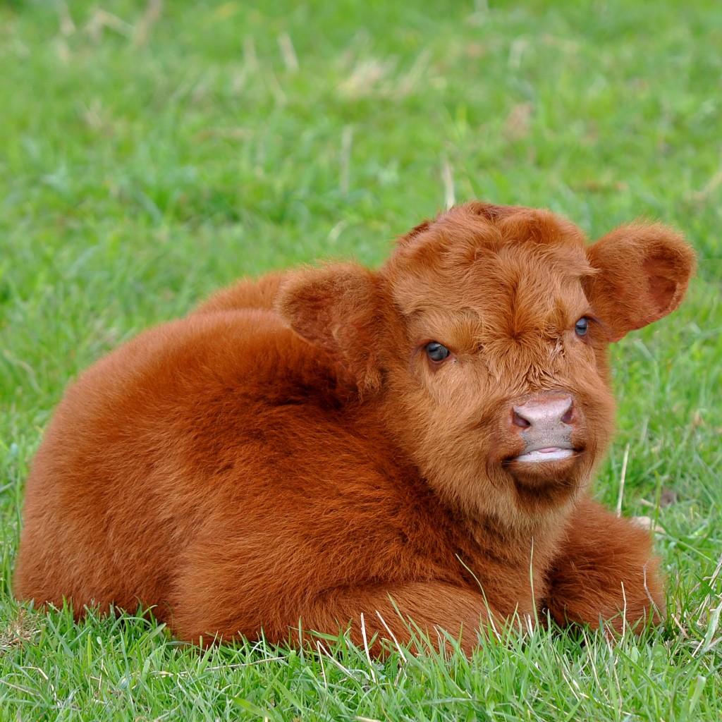 Пушистая порода коров: описание и характеристики