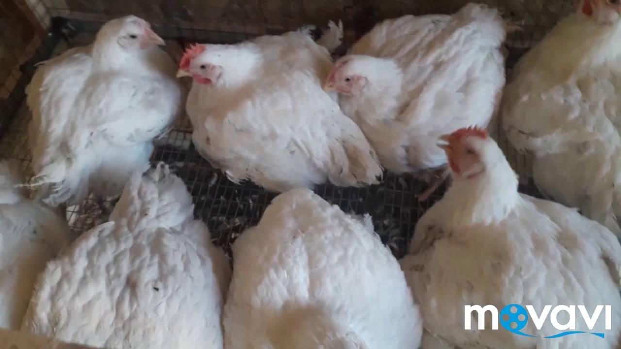 Антибиотики для цыплят бройлеров – названия и схема приема