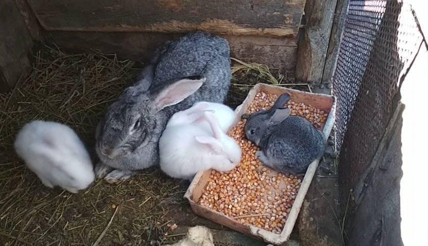 Можно ли давать кроликам редиску и ботву от неё: польза или вред?