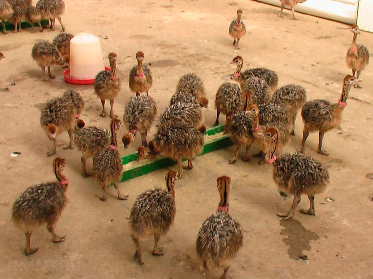 Бизнес план страусиной фермы с расчетами: разведение в домашних условиях выгодно или нет