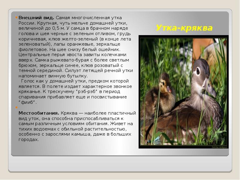 Хохлатая утка — название, описание