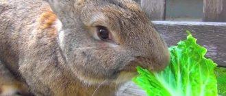 Можно ли давать листья горчицы кроликам