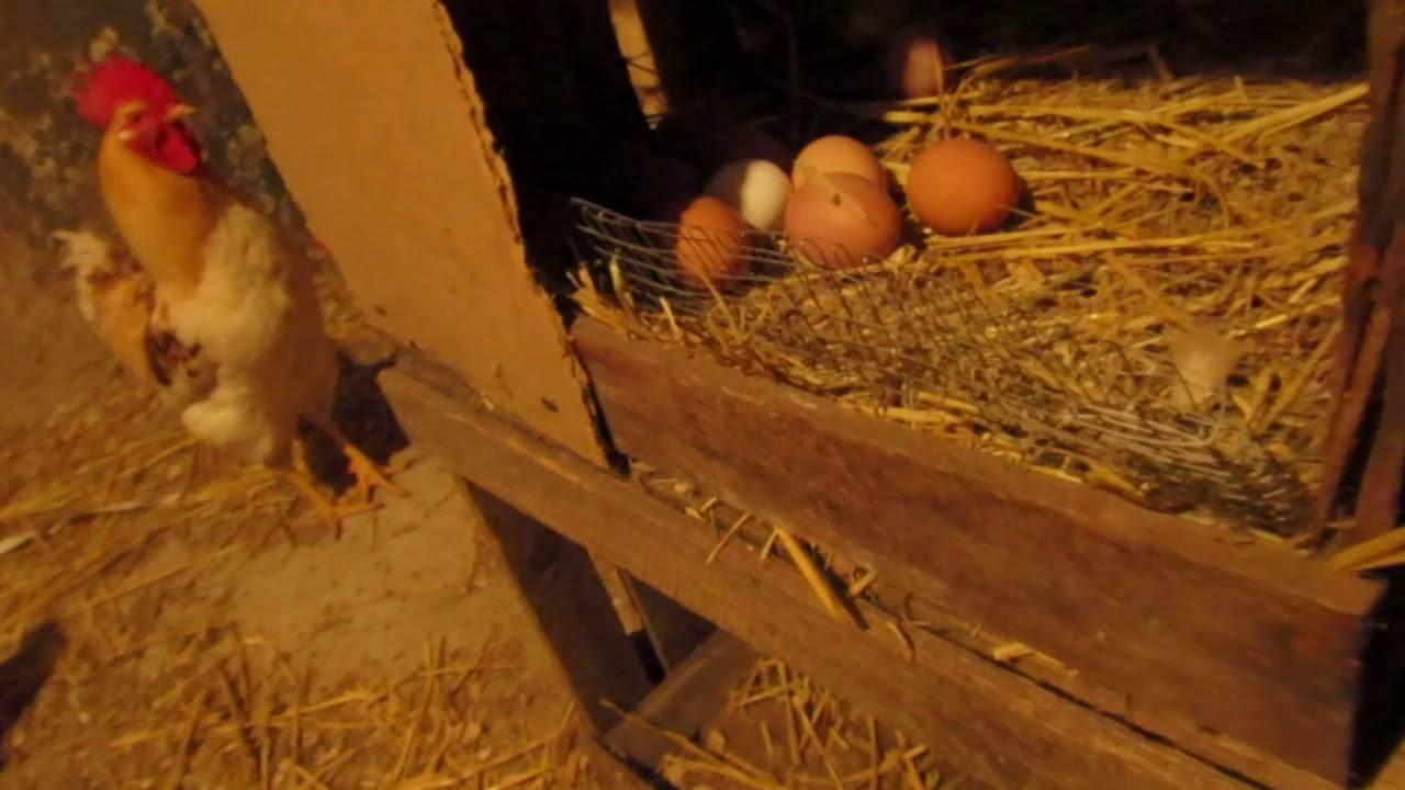 Куры клюют яйца: как решить проблему и основные причины такого явления