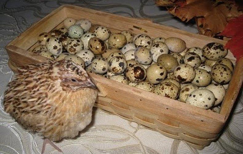 ✅ как и когда начинают нестись перепела: в каком возрасте перепелки несут яйца - tehnomir32.ru