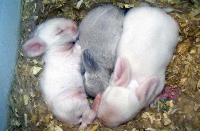 Что делать и как выкормить крольчат без крольчихи, искусственное вскармливание маленьких кролят без матери