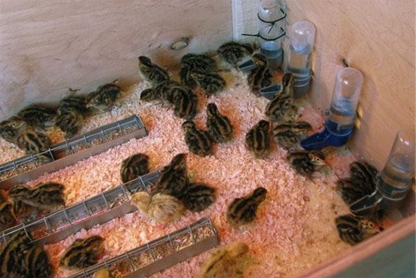 Инкубация перепелиных яиц - таблица и режим в домашних условиях, температура и влажность, вывод в инкубаторе