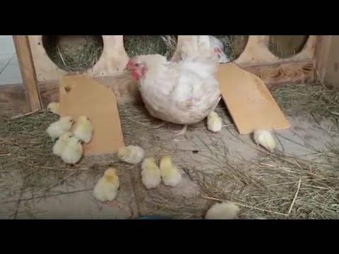 Когда цыплят можно выпускать в общий курятник и как правильно подселить их ко взрослым курам?